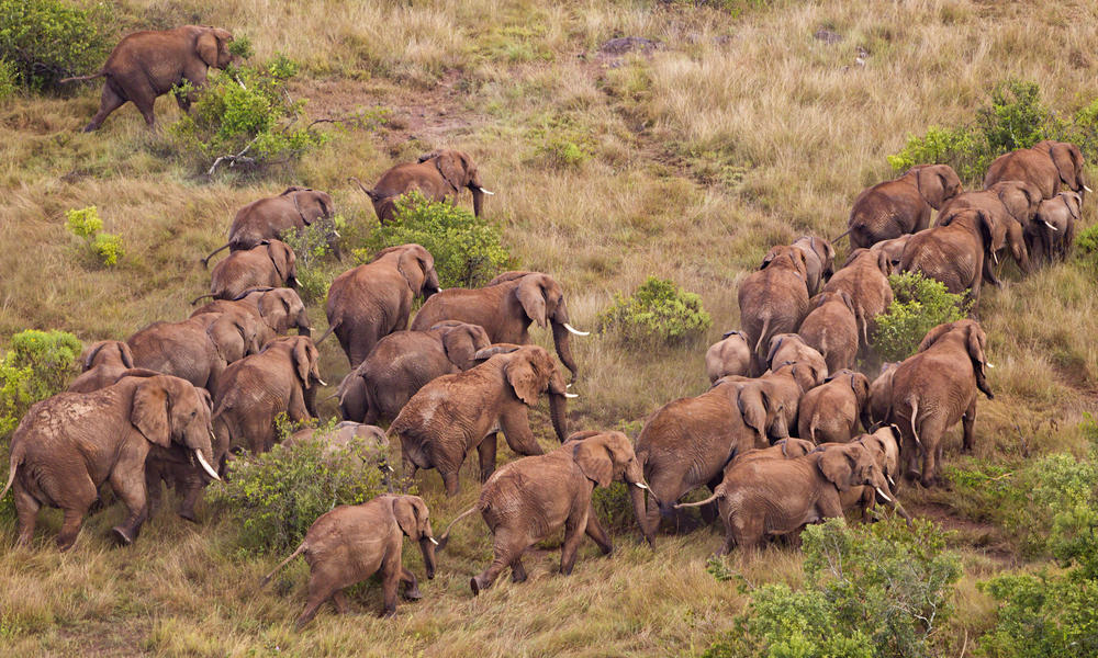 Aerial view of African elephant (Loxodonta africana) in Kenya.Dist. Sub-Saharan Africa.