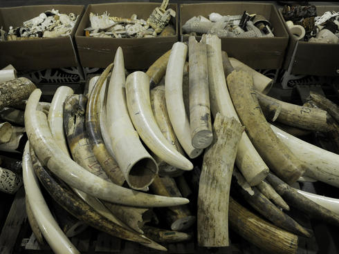 Confiscated ivory tusks at the Rocky Mountain Arsenal National Wildlife Refuge Repository in Commerce City, Colorado