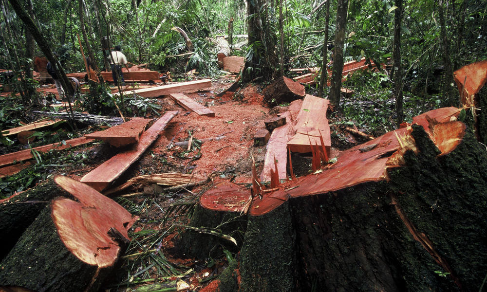 Illegal Logging Peru Tree Stumps in Forest