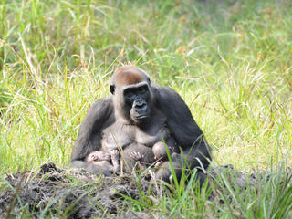 Gorilla Malui with her twins