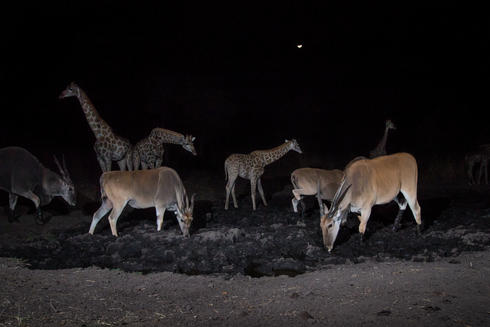 giraffes and elands at a watering hole