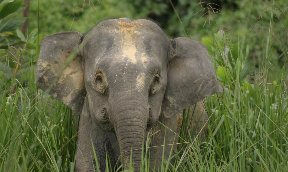 Borneo Pygmy Elephant WWF Day Story