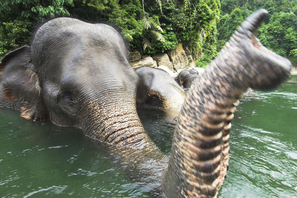 Sumatrans Elephant in Water