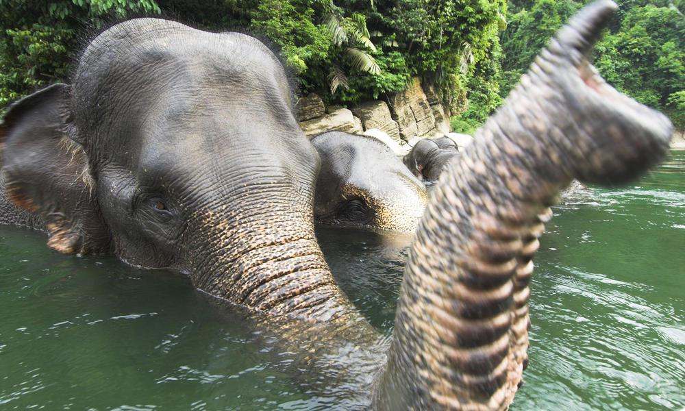 Sumatran naturepl com nick garbutt wwf 257780