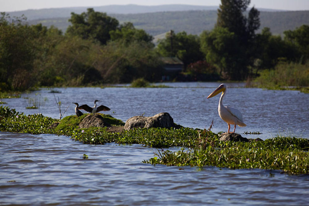 pelican on Lake Naivasha