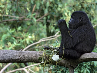 Mountain gorilla  in the Bwinidi Impenetrable Forest in Uganda