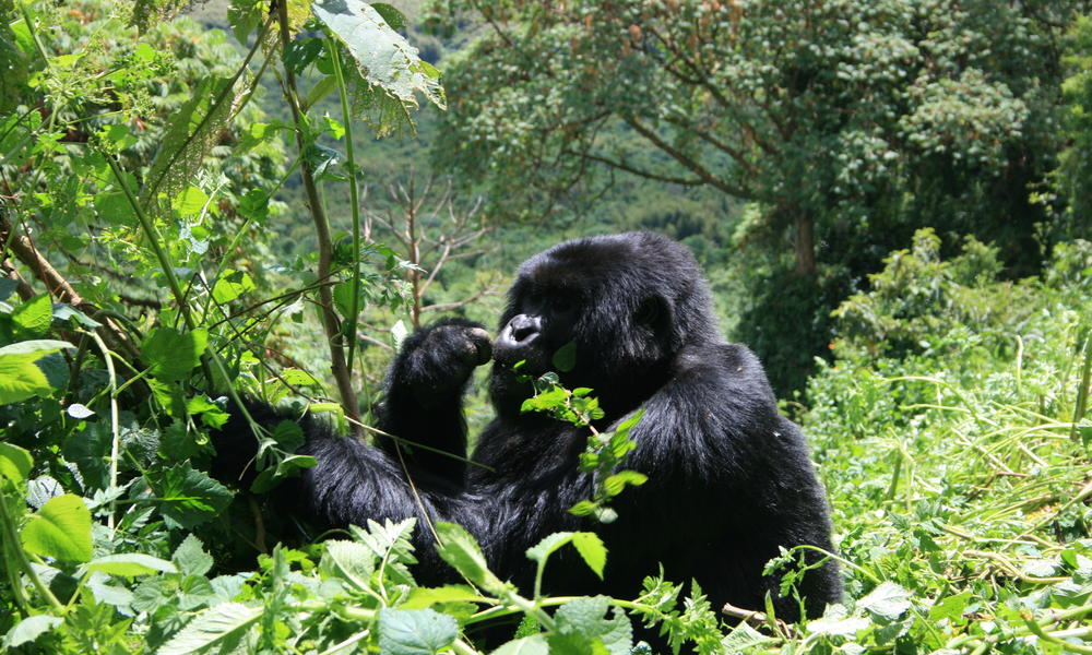 Gorillas help maintain forests