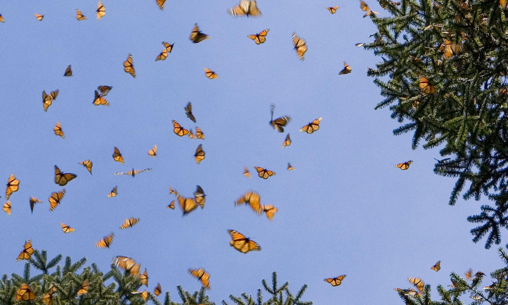 monarchs in sky