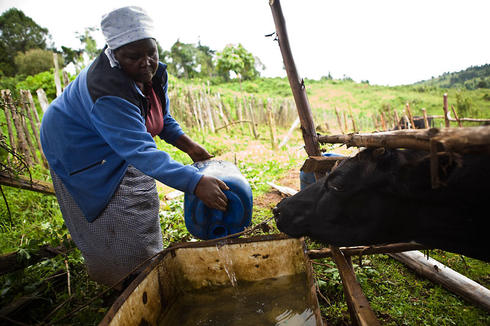 Margaret Wanjiru giving water to her cattle