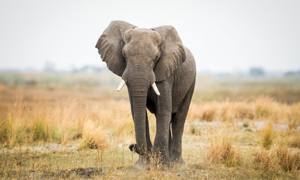 elephant standing in field