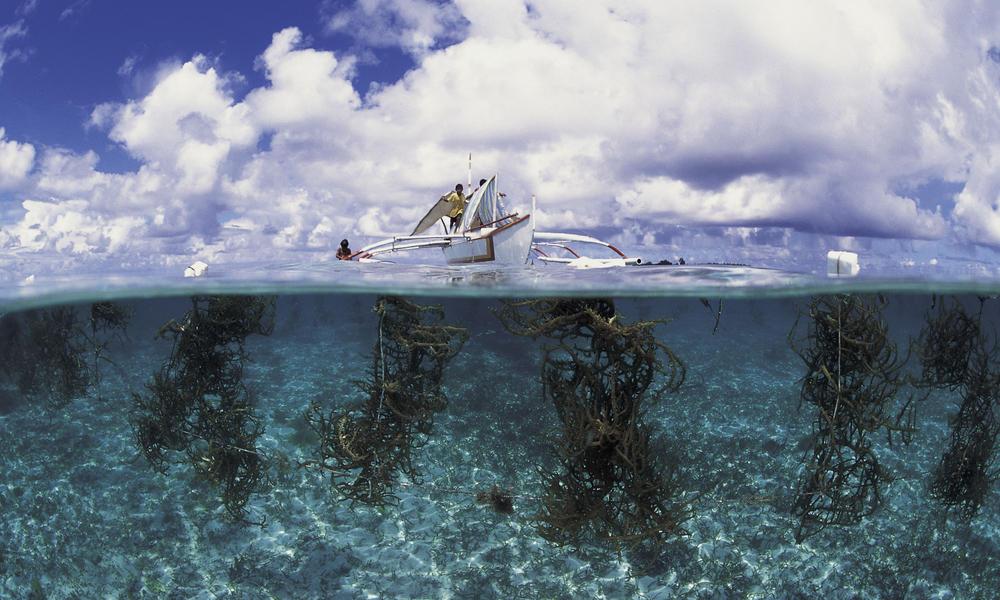 Seaweed farming in Arenas Reef, Phillipines