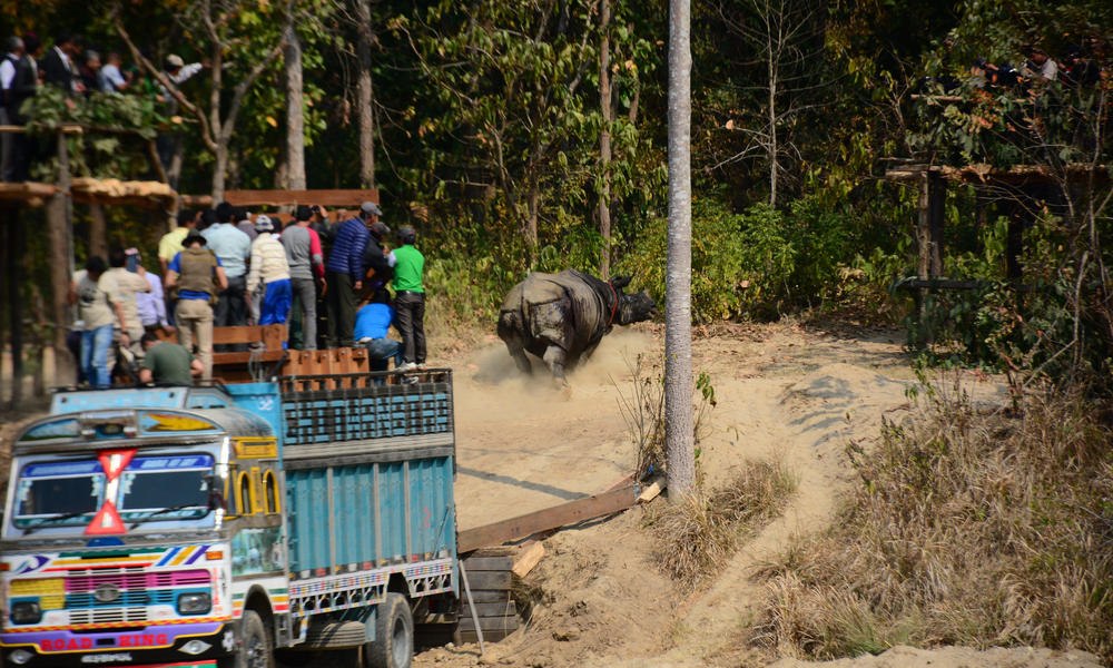 Rhino being released in Nepal