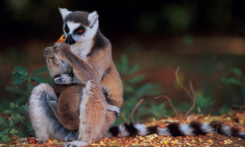 Ring-tailed Lemur Mother and young