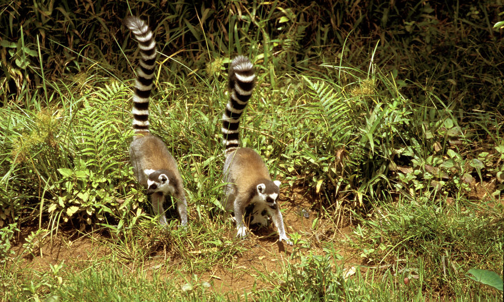 two ring-tailed Lemurs; Madagascar