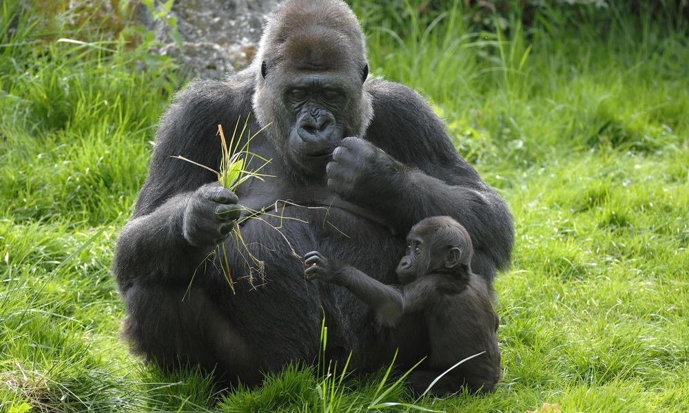 western lowland gorilla threats