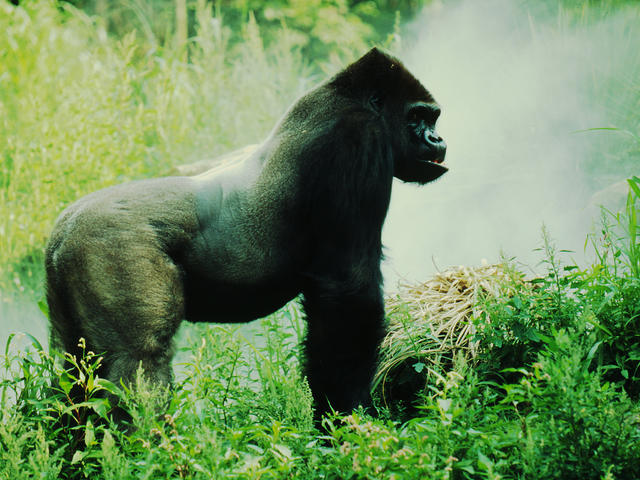 What gorillas look like