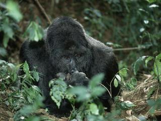 eastern lowland gorilla threats