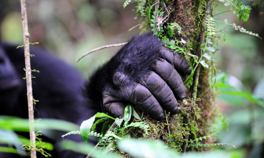 eastern lowland gorilla