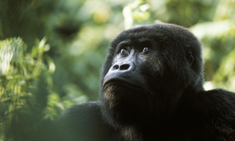 eastern lowland gorilla why they matter