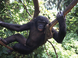 Bonobo Aiding Law Enforcement
