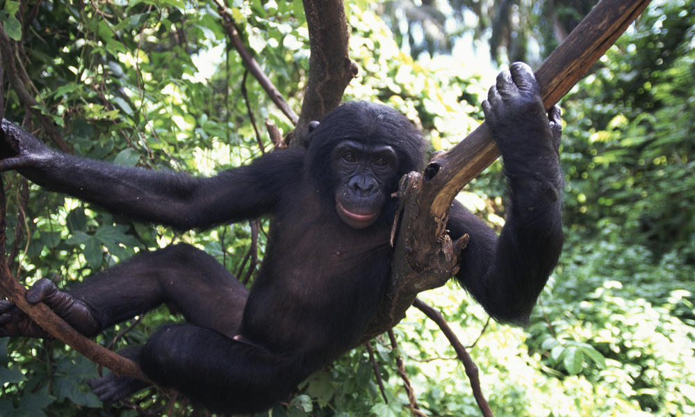 Bonobo Aiding Law Enforcement