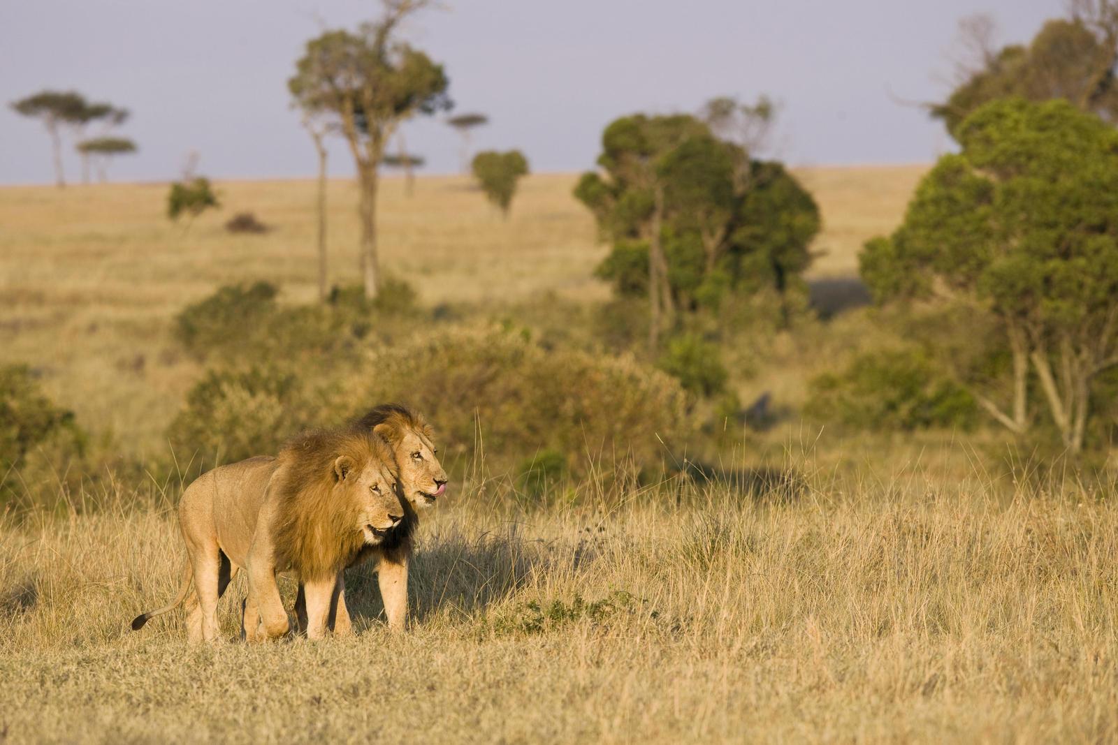 Two male lions walking