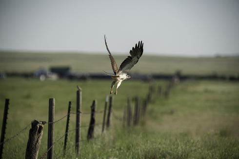 A Swaison's hawk leaps into flight in northern Montana.