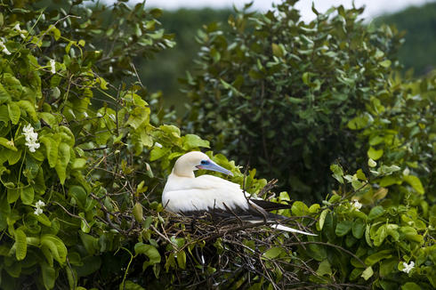 A red-footed booby perched in a tree