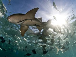 sharks swimming