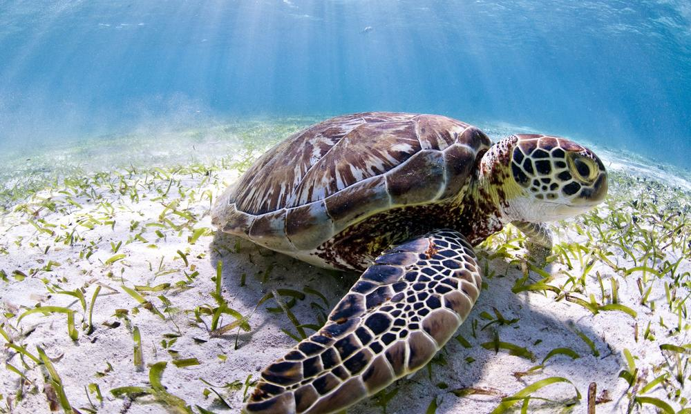 sea turtle in Belize