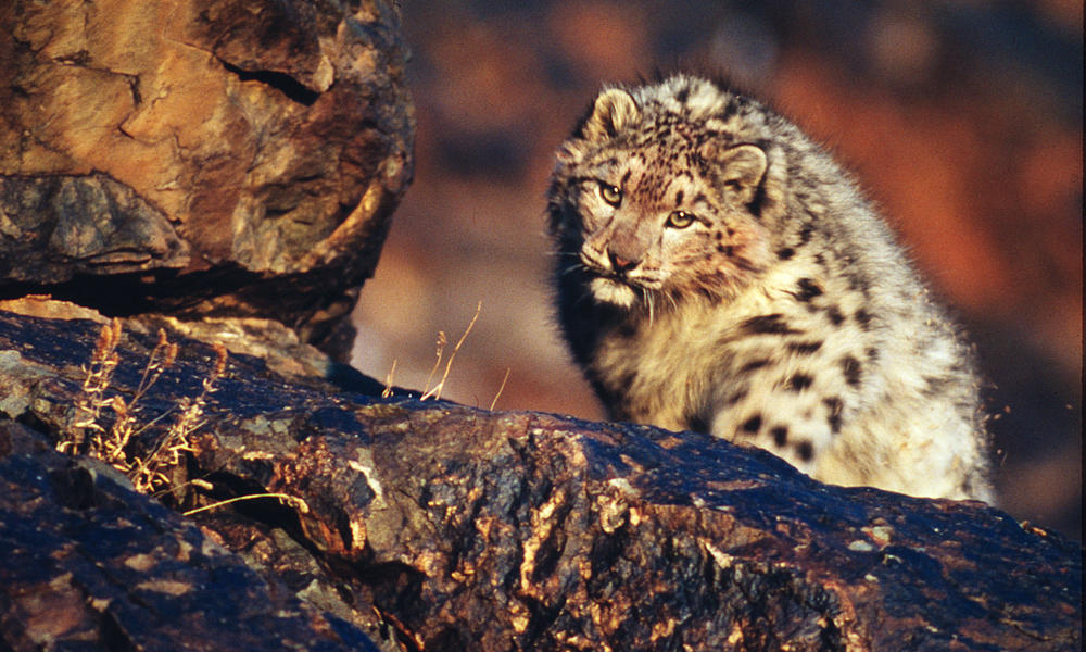Snow leopard in the Altai mountains