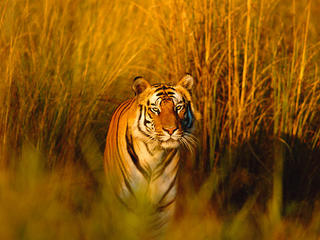 Bengal tiger in field