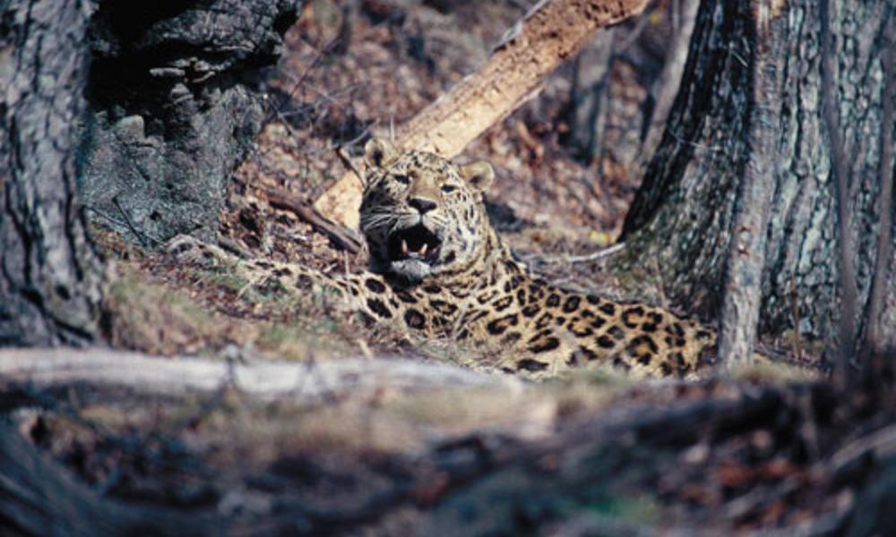 Amur leopard 04 7.30.2012 camera traps