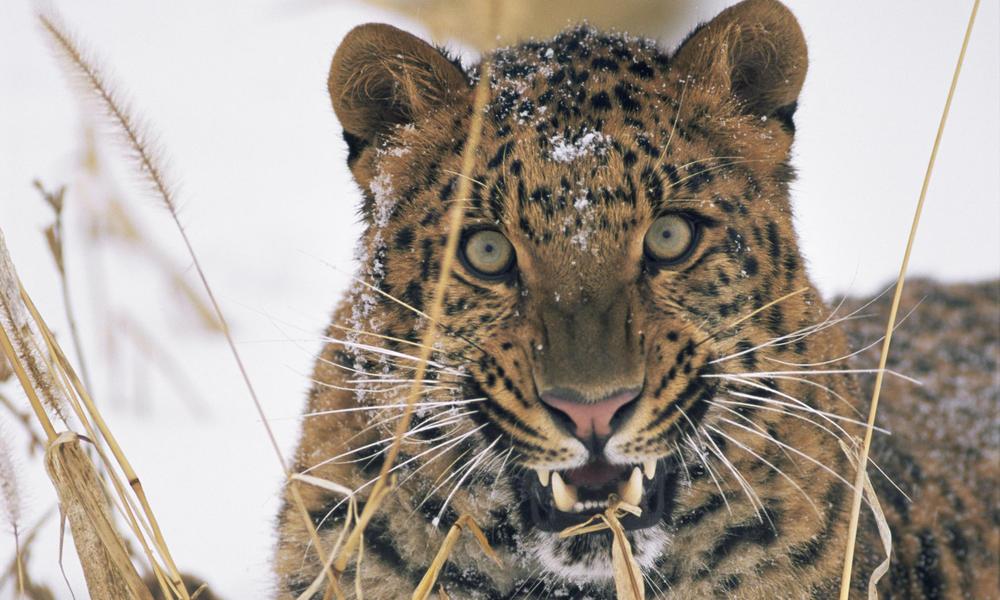 Amur leopard 257728
