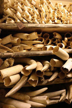 Shelves of elephant tusks confiscated from poachers