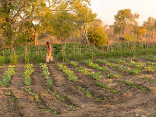 A man walks through a village vegetable garden.