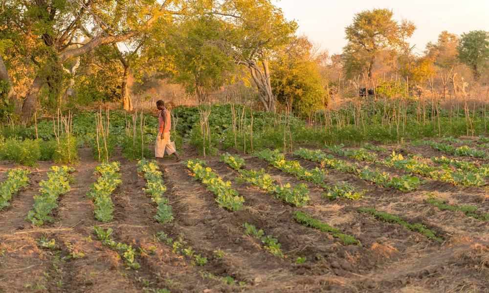 A man walks through a village vegetable garden.