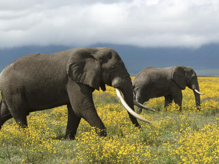 Two African elephants roaming the flowery grass land in Tanzania
