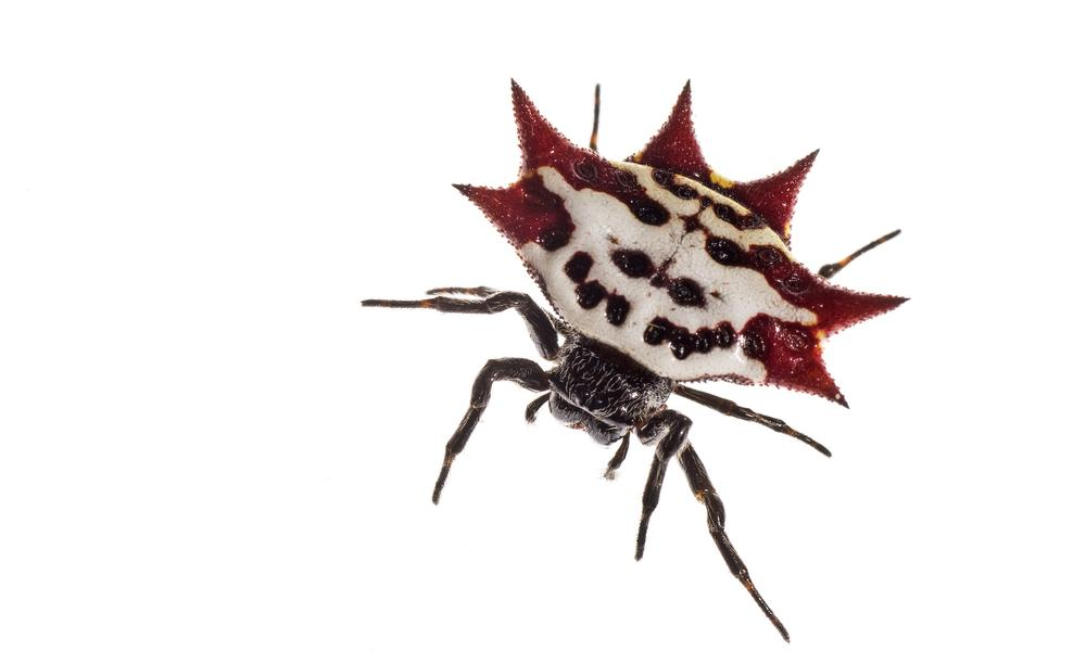 SPINY BACKED ORB-WEAVER