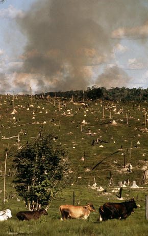 Cattle ranching and forest burning