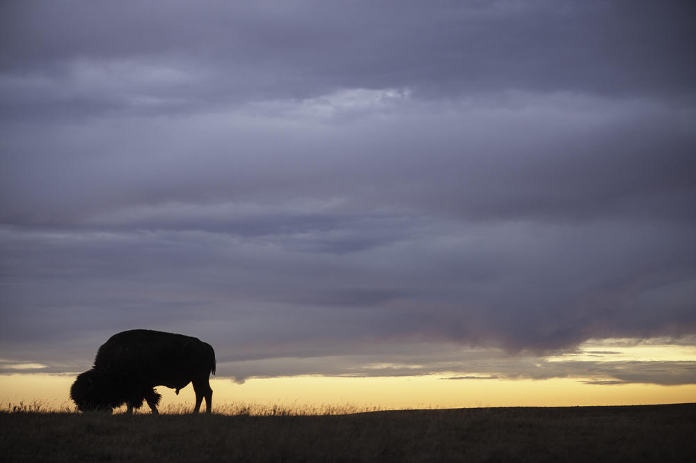 A solitary bull grazes at Fort Peck