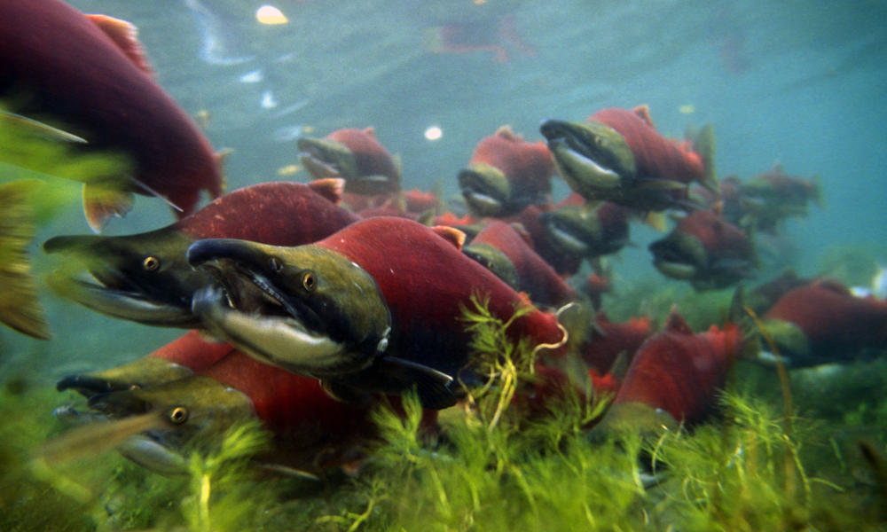 sockeye salmon heading upstream