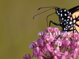 Monarch butterfly clinging to pink flowers of swamp milkweed