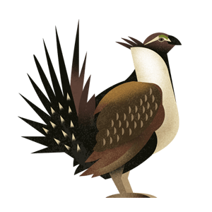 Sage grouse illustration