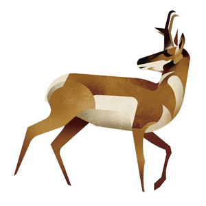 Pronghorn antelope illustration