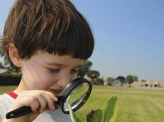 Boy looking at monarch catepillar on milkweed