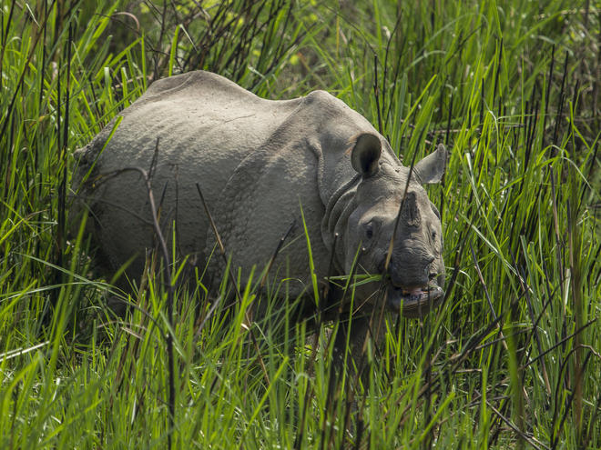 rhino in grass