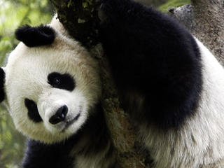 giant panda in tree