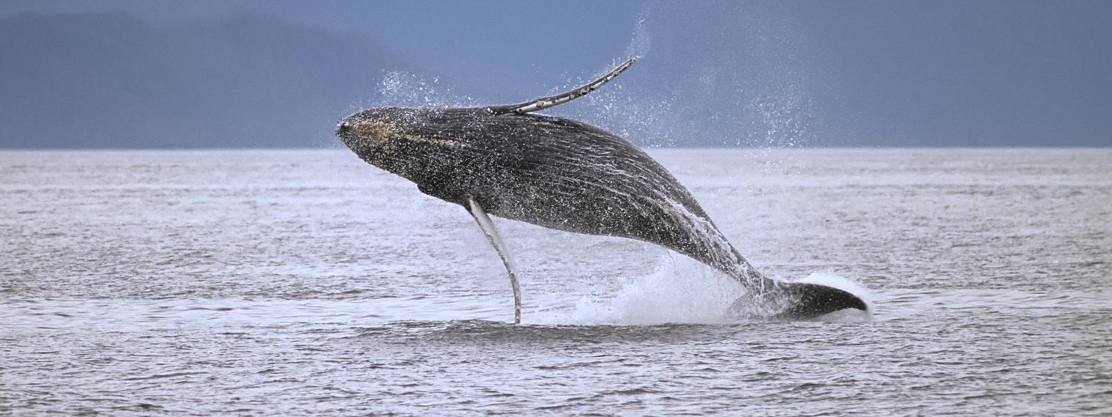 Whale | Species | WWF