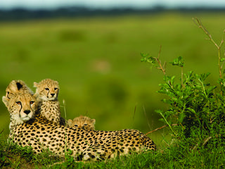 A cheetah and her three cubs